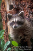 Young Raccoon, Procyon lotor, Looking out of hole in Tree, Autumn, United States, North America, controlled conditions