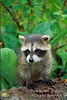 Baby Raccoon, Procyon lotor, United States, North America, Controlled Conditions