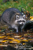 Raccoon, Procyon lotor, at Water's Edge, Autumn, United States, North America, controlled conditions
