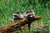 Two Raccoons, Procyon lotor, water, United States, North America, Controlled Conditions