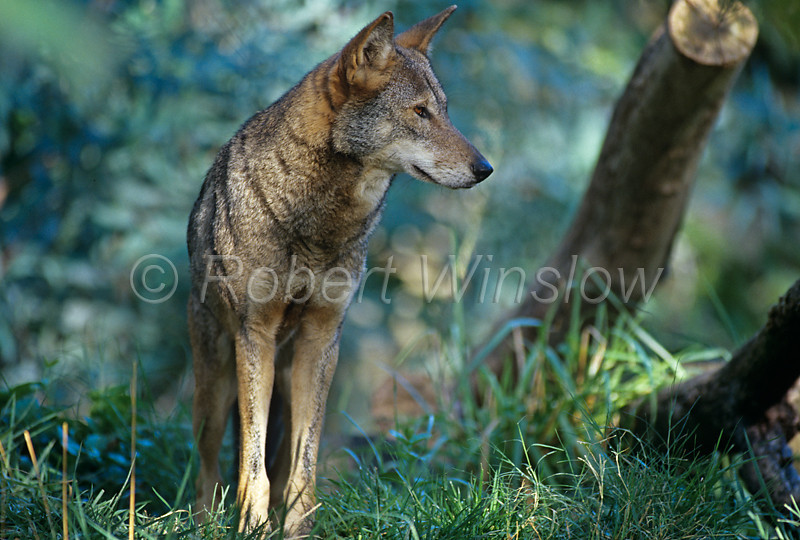 Red Wolf, Canis lupus rufus, Southeastern USA, West to Central Texas, Chaffee Zoological Gardens, Fesno, CA, Critically Endangered Species