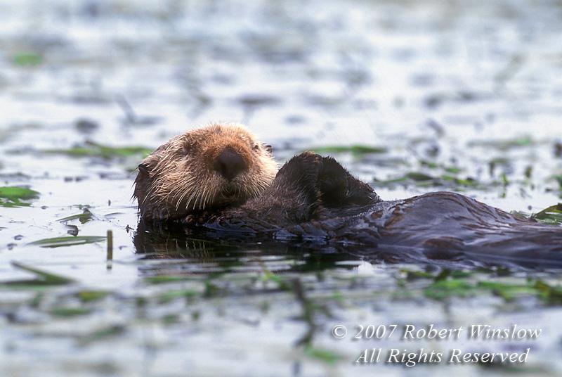 Sleeping Sea Otter, Enhydra lutris, California Coast, United States, North America