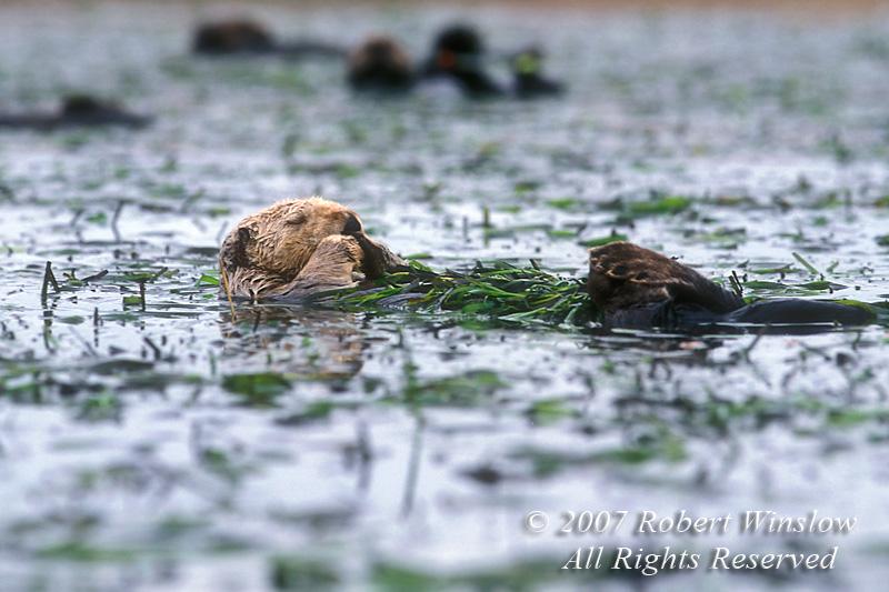 Sea Otter, Enhydra lutris, California Coast, United States, North America