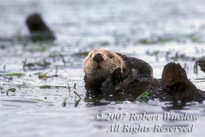 Sea Otter, Enhydra lutris, California Coast, United States, North America