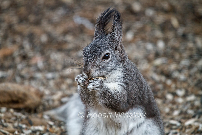 Abert's Squirrel or tassel-eared squirrel, Sciurus aberti, is a tree squirrel endemic to the Rocky Mountains from United States to Mexico, with concentrations found in Arizona, The Grand Canyon, New Mexico, and southwestern Colorado, photographed in La Plata County, Colorado