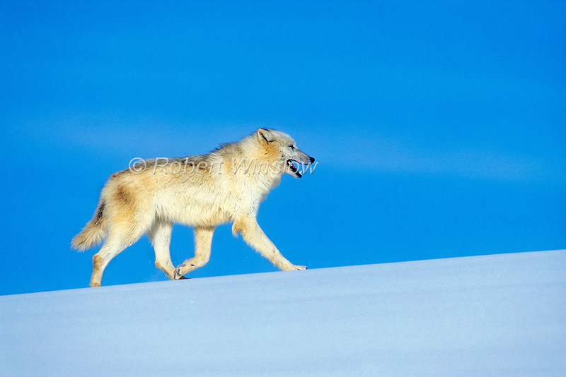 Arctic Wolf, Canis lupus arctos,  Running, Snow, Winter, controlled conditions