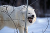 Arctic Gray Wolf, Canis lupus arctos, Biting on a Branch of a Tree, Descendent from Ellesmere Island, NWT, Canada, Controlled Conditons