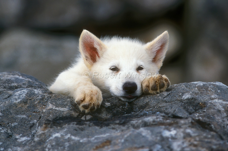 Arctic Wolf #16