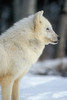 Arctic Wolf, Canis lupus arctos, Winter, Controlled Conditons