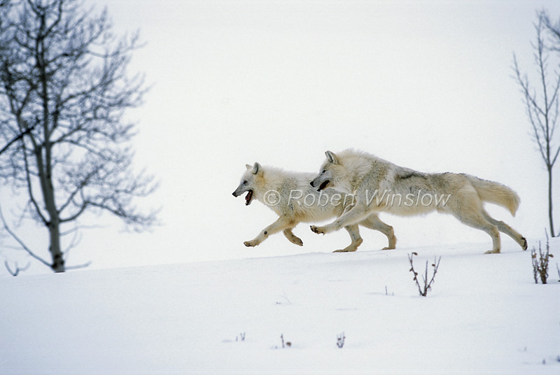 Two Arctic Wolves, Canis lupus arctos, Running, Snow, Winter, controlled conditions