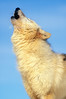 Arctic Wolf, Canis lupus arctos, Howling, Controlled Conditions