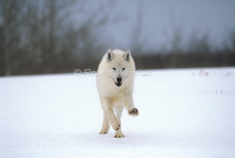 Arctic Gray Wolf, Canis lupus arctos, Running, Snow, Winter, Controlled Conditons