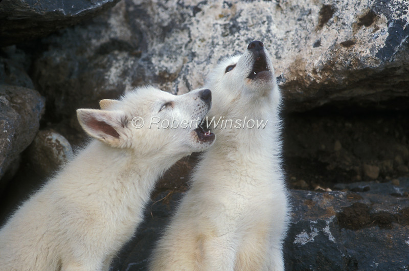 Two Young Arctic Wolf Pups, Canis lupus arctos,  Howling, Controlled Conditions