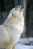 Arctic Gray Wolf, Howling,  Canis lupus arctos,  Descendent from Ellesmere Island, NWT, Canada, Controlled Conditons
