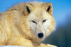 Arctic Wolf, Canis lupus arctos, Controlled Conditions