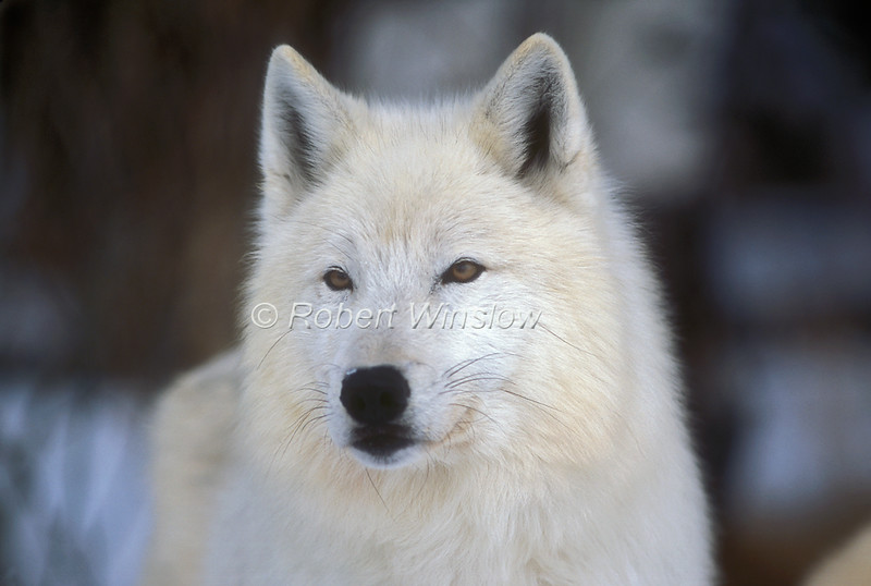 Arctic Gray Wolf, Canis lupus arctos, Descendent from Ellesmere Island, NWT, Canada, Controlled Conditons