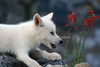 Young Arctic Wolf Pup, Canis lupus arctos, Red Flowers, Scarlet Gilia, Controlled Conditions