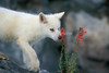 Young Arctic Wolf Pup, Canis lupus arctos, Smelling  Red Flowers, Scarlet Gilia, Controlled Conditions