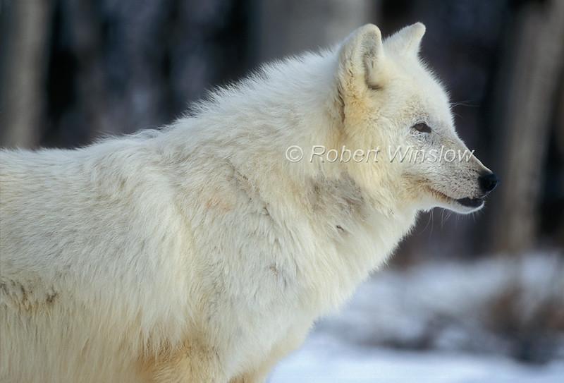 Arctic Wolf, Canis lupus arctos, Winter, Controlled Conditons