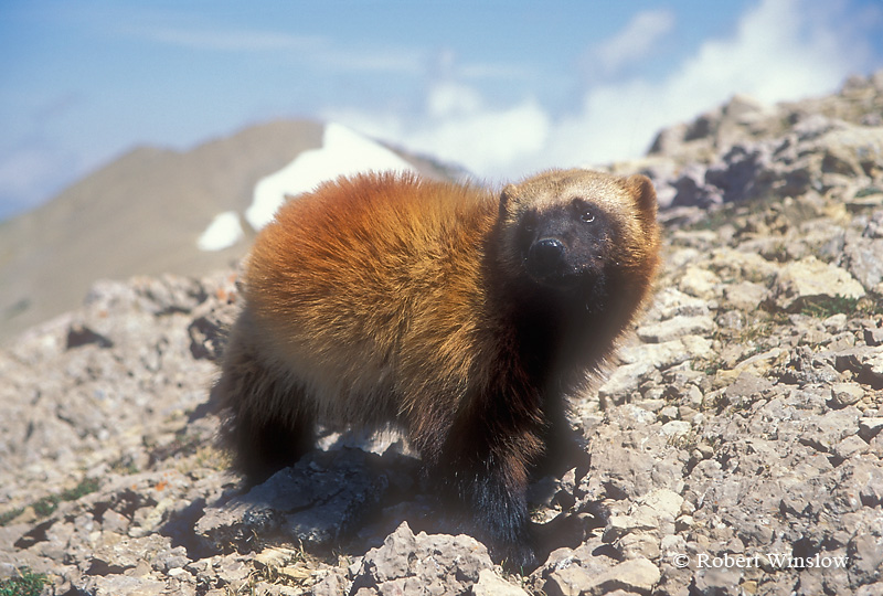 Wolverine (Gulo gulo) or (Gulo luscus), Above Timberline, Found in High Mountains and Forests of Western North America, Near Timberline and onto Tundra, Controlled Conditions
