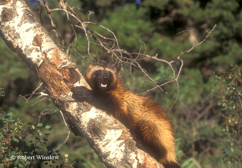 Wolverine (Gulo gulo) or (Gulo luscus), Up a Tree, Summer, Found in High Mountains and Forests of Western North America, Near Timberline and onto Tundra, Controlled Conditions