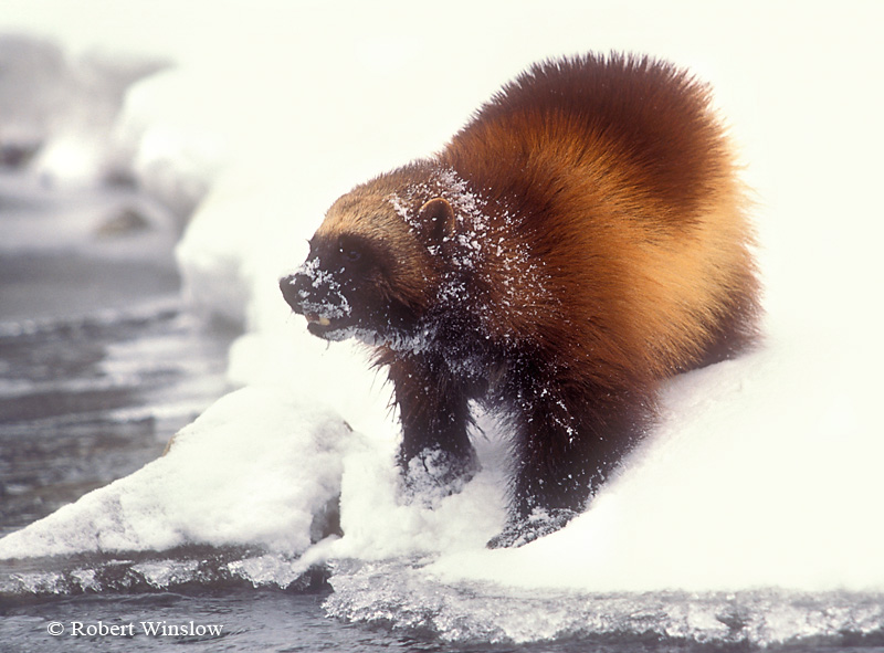 Wolverine (Gulo gulo) or (Gulo luscus), Winter, Snow, Found in High Mountains and Forests of Western North America, Near Timberline and onto Tundra, Controlled Conditions