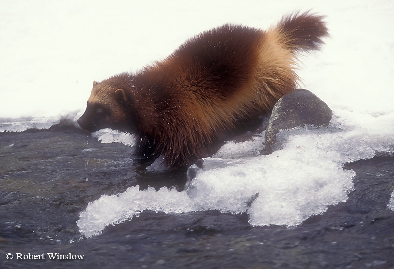 Wolverine (Gulo gulo) or (Gulo luscus), By a Stream, Winter, Snow, Found in High Mountains and Forests of Western North America, Near Timberline and onto Tundra, Controlled Conditions
