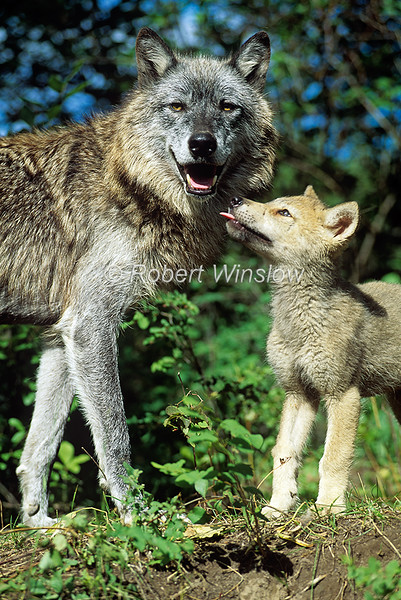 Adult and Young Gray Wolf Pup, Canis lupus, Controlled Conditions