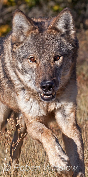 Gray Wolf, Canis lupus, autumn, Running, controlled conditions