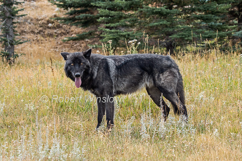 Black Colored Gray Wolf, Canis Lupus, Controlled Conditions, Idaho, USA, North America
