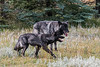 Two Black Colored Gray Wolf, Canis Lupus, Controlled Conditions, Idaho, USA, North America