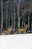 Two Gray Wolves, Canis lupus, with Snow and Aspen Trees, Winter, Controlled Conditions
