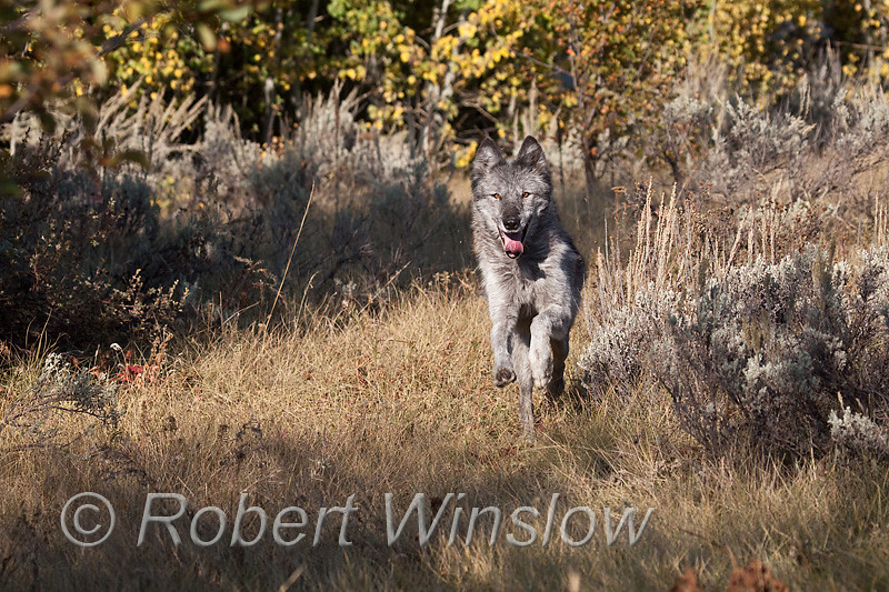 Gray Wolf, Canis lupus, running, autumn, controlled conditions