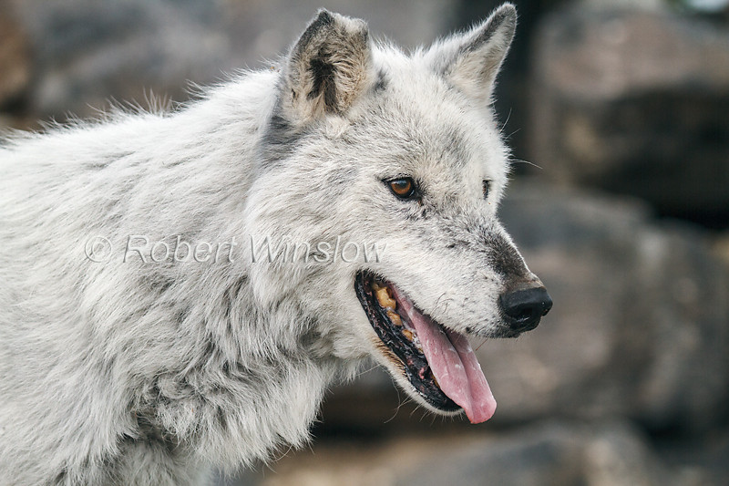 Gray Wolf with coat turning white, Canis lupus, Controlled Conditions