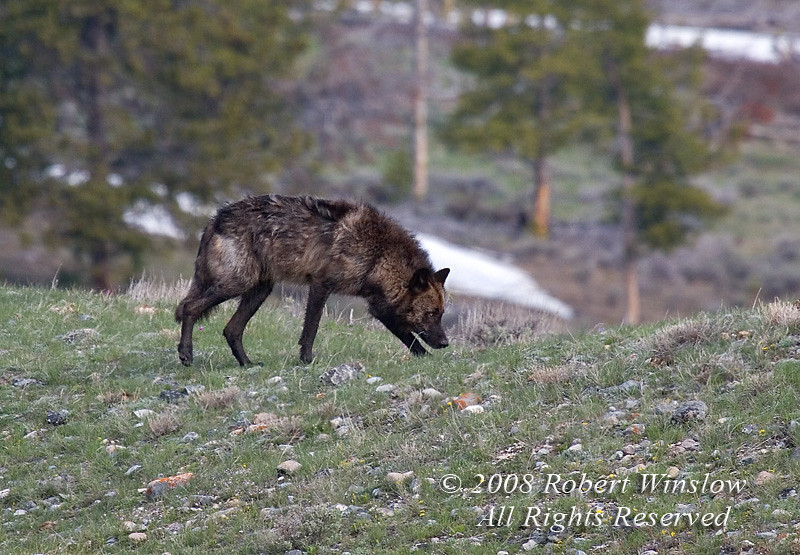 Wolf, Canis lupus, Yellowstone National Park, Wyoming, USA