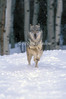 Gray Wolf, Canis lupus, Running Through Snow Toward Camera, Controlled Conditions