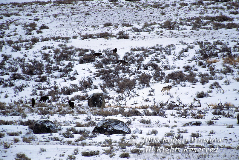 Rose Creek Pack, Seven Gray Wolves (Canis lupus), Lamar Valley, Winter, Yellowstone National Park, Wyoming, USA, North America