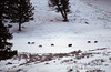 Rose Creek Pack, Gray Wolves (Canis lupus), Lamar Valley, Winter, Yellowstone National Park, Wyoming, USA, North America