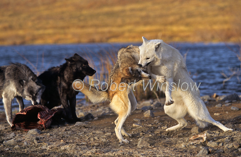 Gray Wolf, Canis lupus, Fighting, Controlled Conditions