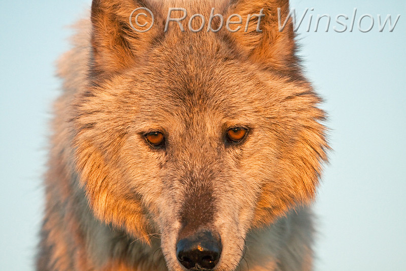 Gray Wolf, Canis lupus, Portrait, Controlled Conditions