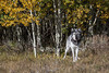 Gray Wolf, Canis lupus, Autumn, fall colors, Controlled Conditions, Idaho, USA, North America
