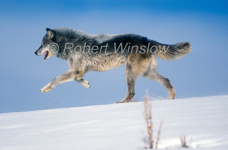 Gray Wolf, Canis lupus, Winter, Snow, Controlled Conditions