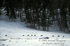 Rose Creek Pack, Nine Gray Wolves (Canis lupus), Winter, Lamar Valley, Yellowstone National Park, Wyoming, USA, North America