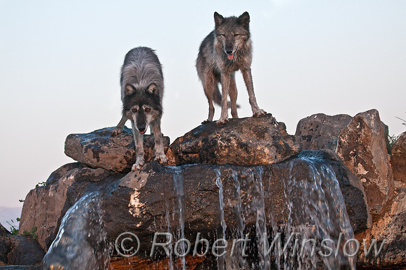 Two Gray Wolves, Canis lupus, Controlled Conditions