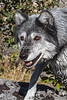 Gray Wolf, Canis lupus, Controlled Conditions, Idaho, USA, North America