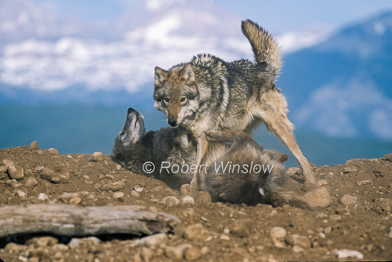 Gray Wolf, Canis lupus, Two Wolves showing dominance and submission, Controlled Conditions