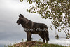 Six month old Gray Wolf, Canis lupis, Controlled Conditions