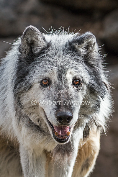 Gray Wolf, Canis Lupus, Controlled Conditions, USA, North America