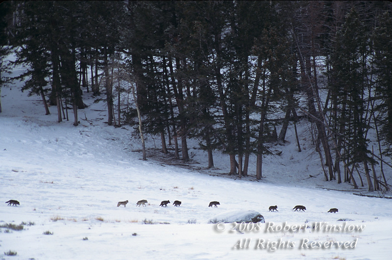 Rose Creek Pack, Nine Gray Wolves (Canis lupus), Lamar Valley, Winter, Yellowstone National Park, Wyoming, USA, North America