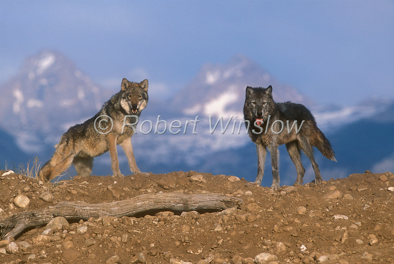 Gray Wolf, Canis lupus, Two, Controlled Conditions